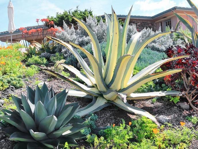 Agave Americana Mediopicta Alba Century Plant