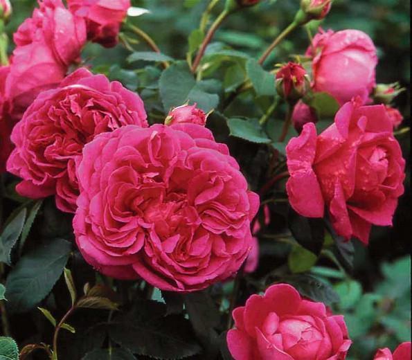 Rose Lady of Megginch, Rosa Lady of Megginch, David Austin Roses, English Roses, Shrub roses, pink roses, Rose Bushes, Garden Roses
