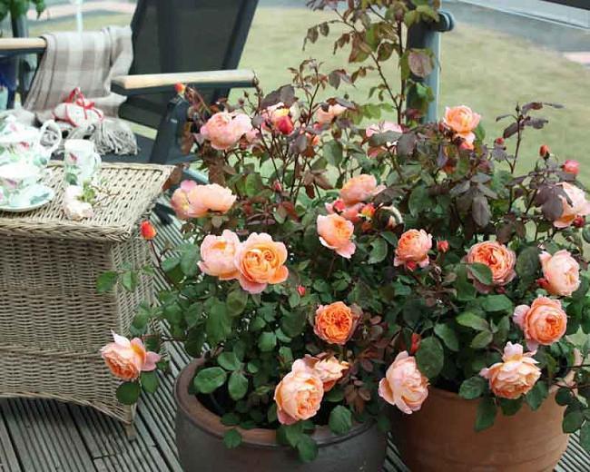 Rosa Lady Emma Hamilton, Rosa 'Lady Emma Hamilton', English Rose 'Lady Emma Hamilton', David Austin Rose, English Rose, Fragrant roses, Shrub roses, orange roses