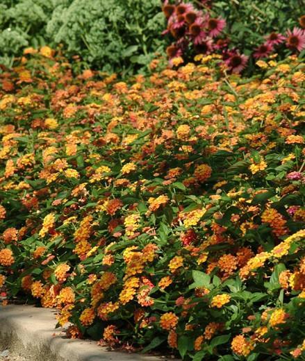 Lantana Landmark Citrus, Lantana camara, Mediterranean plants, Mediterranean shrubs, Yellow flowers, Bicolor flowers