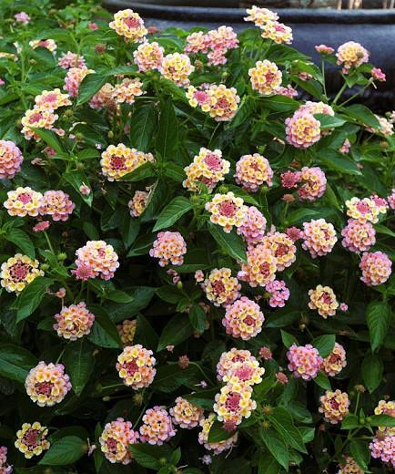 Lantana Landmark Peach Sunrise, Lantana camara, Mediterranean plants, Mediterranean shrubs, peach flowers, Bicolor flowers