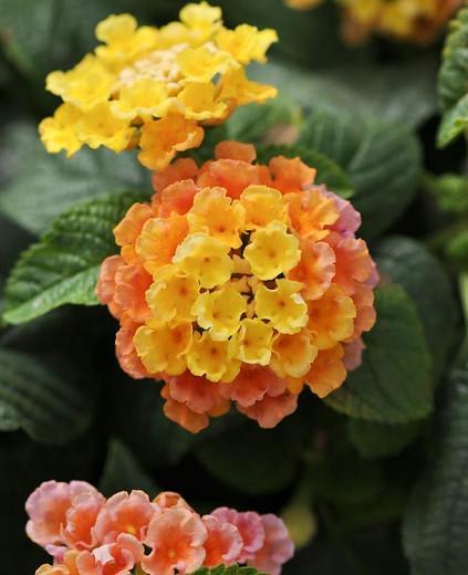 Lantana Little Lucky Peach Glow, Lantana camara, Mediterranean plants, Mediterranean shrubs, Salmon flowers, Bicolor flowers