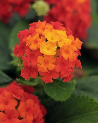 Lantana Little Lucky Red, Lantana camara, Mediterranean plants, Mediterranean shrubs, Red flowers, Bicolor flowers