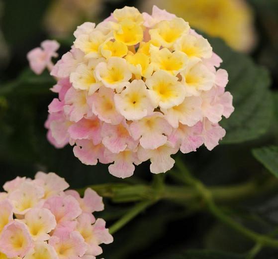 Lantana Lucky Lavender, Lantana camara, Mediterranean plants, Mediterranean shrubs, Lavender flowers, Bicolor flowers