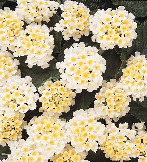 Lantana Lucky White, Lantana camara, Mediterranean plants, Mediterranean shrubs, White flowers, Bicolor flowers