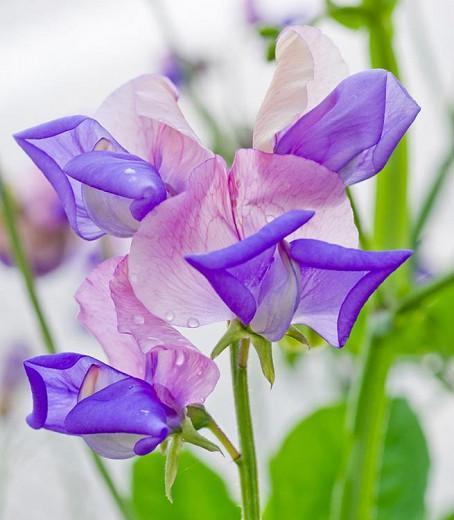 Lathyrus Odoratus x Belinensis 'Erewhon',Sweet Pea 'Erewhon', Bicolor Flowers, Fragrant Flowers, Pink Flowers, Lavender Flowers, Annuals, Annual plant, Cut flowers, deer resistant flowers