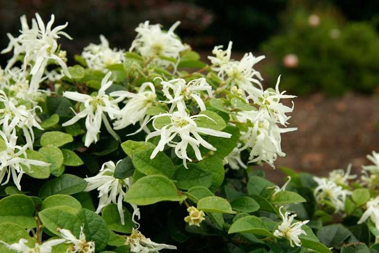 Loropetalum chinense 'Emerald Snow',Chinese Fringe Flower 'Emerald Snow', Emerald Snow Chinese Fringe Flower, Loropetalum chinense 'Shang-White', evergreen shrubs, White flowers