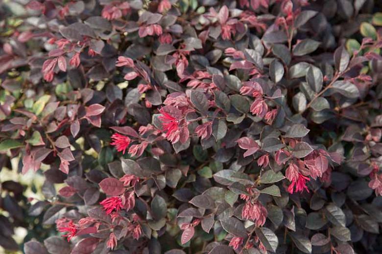 Loropetalum chinense 'Purple Daydream',Chinese Fringe Flower 'Purple Daydream', Purple Daydream Chinese Fringe Flower, Loropetalum chinense 'PPI', evergreen shrubs, Pink flowers