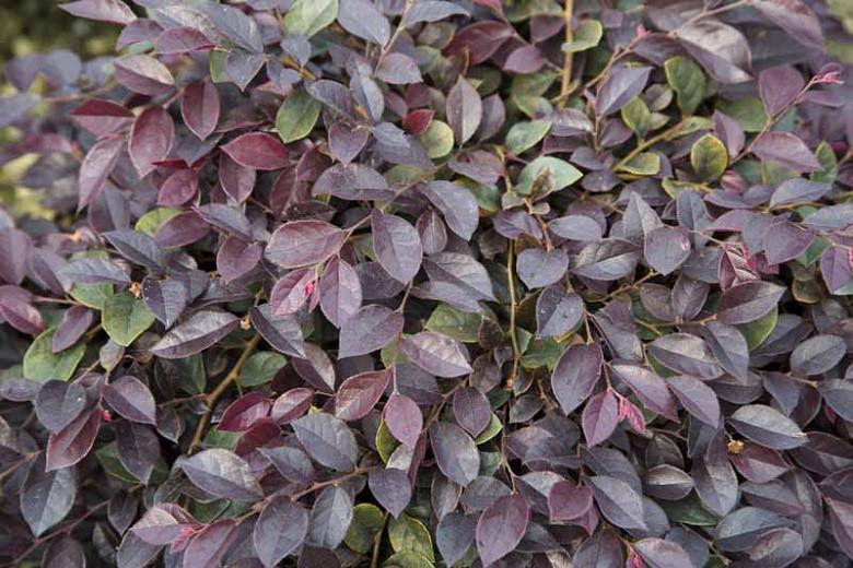 Loropetalum chinense Purple Daydream®,Chinese Fringe Flower Purple Daydream®, Purple Daydream Chinese Fringe Flower, Loropetalum chinense 'PPI', evergreen shrubs, Pink flowers