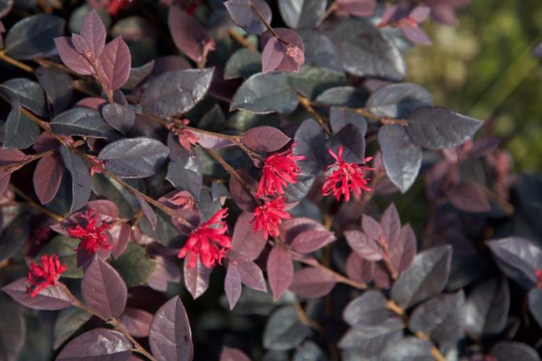 Loropetalum chinense 'Red Diamond',Chinese Fringe Flower 'Red Diamond', Red Diamond Chinese Fringe Flower, Loropetalum chinense 'Shang-Red', evergreen shrubs, Red flowers, dark foliage