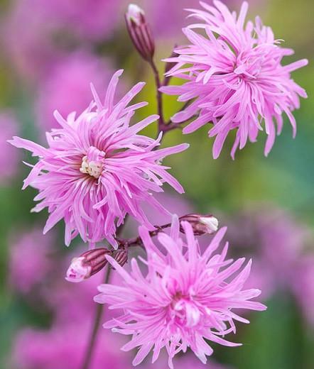 Lychnis Flos-Cuculi 'Petite Jenny', Ragged Robin 'Petite Jenny', Pink Flowers, Double Ragged Robin