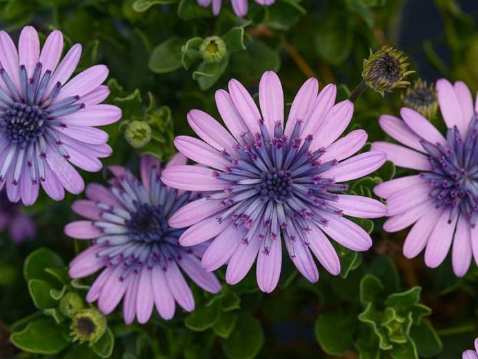 Osteospermum '4D Pink', African Daisy '4D Pink', Cape Daisy '4D Pink', 4D Series, evergreen perennial, evergreen shrub, Pink flowers