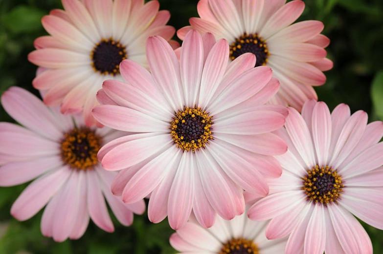 Osteospermum 'Serenity Pink Magic', African Daisy 'Serenity Pink Magic', Cape Daisy 'Serenity Pink Magic', Serenity Series, evergreen perennial, evergreen shrub, Pink flowers