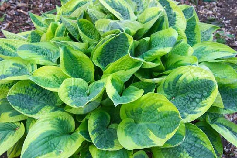 Hosta Wide Brim, Variegated Plantain lily, Plantain Lily 'Wide Brim', 'Wide Brim' Hosta, Shade perennials, Plants for shade, AGM Hosta