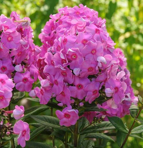 Phlox Paniculata 'Eva Cullum', Phlox 'Eva Cullum', Border Phlox 'Eva Cullum', Fall Phlox 'Eva Cullum', Garden Phlox 'Eva Cullum', Perennial Phlox 'Eva Cullum', Summer Phlox 'Eva Cullum'