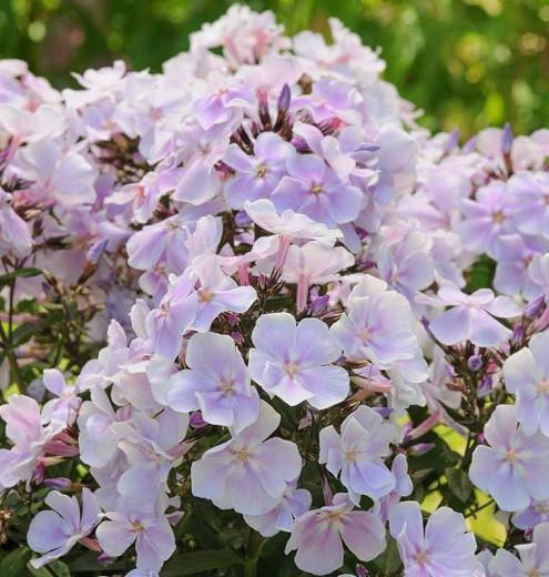 Phlox Paniculata 'Franz Schubert', Phlox 'Franz Schubert', Border Phlox 'Franz Schubert', Fall Phlox 'Franz Schubert', Garden Phlox 'Franz Schubert', Perennial Phlox 'Franz Schubert', Summer Phlox 'Franz Schubert', White phlox, white flowers