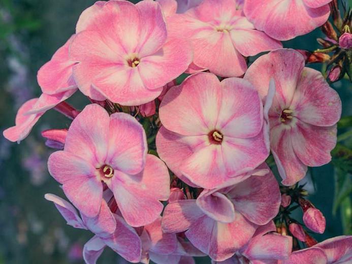 Phlox paniculata Younique Old Pink, Border Phlox 'Younique Old Pink', Fall Phlox 'Younique Old Pink', Garden Phlox 'Younique Old Pink', Perennial Phlox 'Younique Old Pink', Summer Phlox 'Younique Old Pink', Younique Series, Pink Phlox