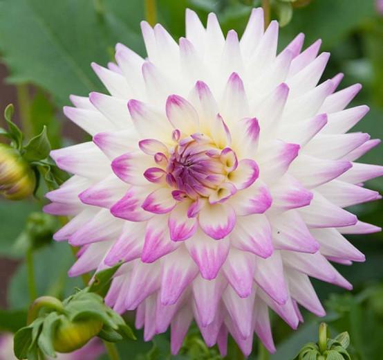 Dahlia 'Jura', Jura Dahlia, White Dahlia, Cactus Dahlias, Bicolor Dahlia Flowers, Dahlia Tubers, Dahlia Bulbs,