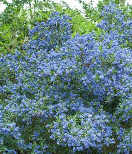 Ceanothus 'Concha',  California Lilac 'Concha', Blue Flowers, Fragrant Shrubs, Evergreen Shrubs