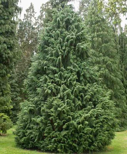 Chamaecyparis nootkatensis 'Glauca', Nootka Cypress 'Glauca', Alaska Cedar 'Glauca', Yellow Cedar 'Glauca', Nootka Falsecypress 'Glauca', Callitropsis nootkatensis 'Glauca', Xanthocyparis nootkatensis 'Glauca', Cupressus nootkaensis 'Glauca