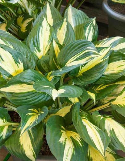 Hosta Revolution, Variegated Plantain lily, Plantain Lily 'Revolution', Shade perennials, Plants for shade