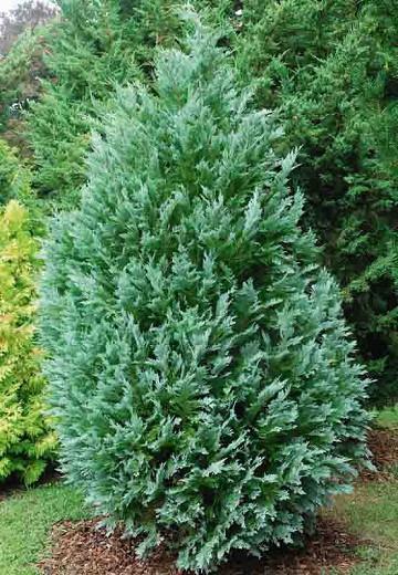 Chamaecyparis lawsoniana 'Pembury Blue', Lawson Cypress 'Pembury Blue', 'Pembury Blue' Lawson Cypress, Chamaecyparis 'Pembury Blue', Evergreen Tree, Blue Conifer, Blue Evergreen Tree
