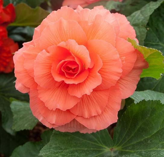 Begonia 'Roseform Peach', Tuberhybrida Begonia 'Roseform Peach', Double Begonias, Tuberous Begonias, Peach Begonias, Orange Begonias, shade loving plants, summer flower bulbs, shade plants, Shade flowers
