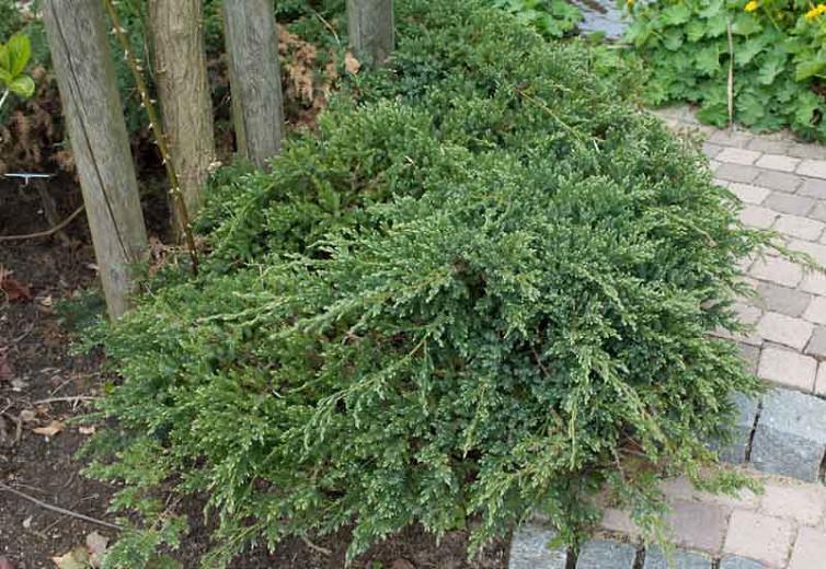 Juniperus squamata 'Blue Carpet', Flaky Juniper 'Blue Carpet', Singleseed Juniper 'Blue Carpet', Evergreen Shrub, Dwarf evergreen shrub, Blue shrub