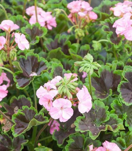 Pelargonium Black Velvet Pink, Zonal Geranium Black Velvet Pink, evergreen perennial, evergreen shrub, pink flowers, Fancy Leaf Geranium 'Black Velvet Pink', pink flowers