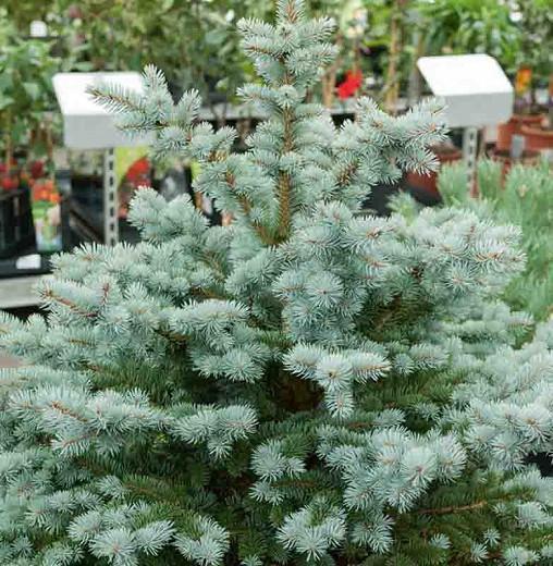 Picea pungens 'Globosa', Colorado Spruce 'Globosa', Picea pungens (Glauca Group) 'Globosa', Picea pungens 'Glauca Globosa', Dwarf Globe Blue Spruce, Evergreen Conifer, Evergreen Shrub, Blue Conifer,