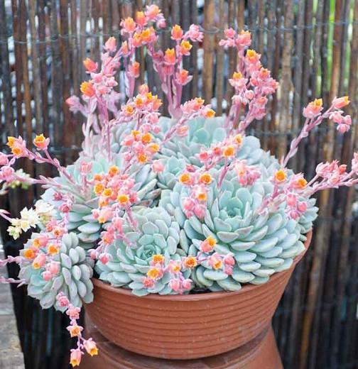 Echeveria derenbergii,Echeveria Painted Lady,  Blue echeveria, gray echeveria, Baby Echeveria, Blue succulent, gray succulent