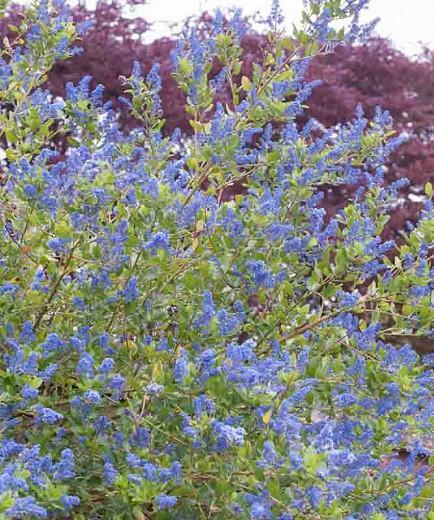 Ceanothus 'Skylark',  California Lilac 'Skylark', Ceanothus thyrsiflorus 'Skylark', Blue Flowers, Fragrant Shrubs, Evergreen Shrubs