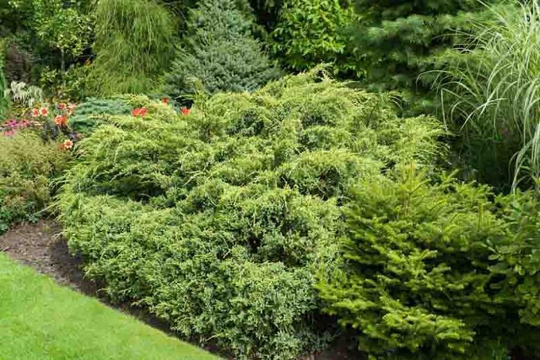 Juniperus squamata 'Dream Joy', Flaky Juniper 'Dream Joy', Singleseed Juniper 'Dream Joy, Evergreen Shrub, Dwarf evergreen shrub, Golden shrub, Yellow Shrub