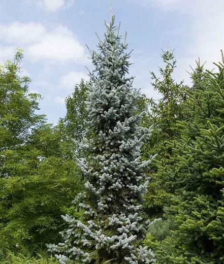 Picea pungens 'Hoopsii', Colorado Spruce 'Hoopsii', Picea pungens (Glauca Group) 'Hoopsii', Hoops' Colorado Blue Spruce, Evergreen Conifer, Evergreen Shrub, Blue Conifer,