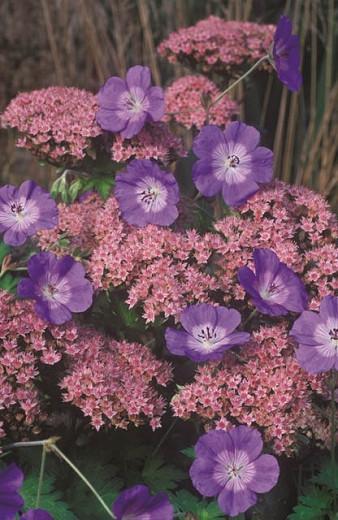 Geranium Rozanne, Hardy Geranium Rozanne, Crane's Bill Rozanne, Award geranium, AGM Geranium, Best geraniums, Best groundcovers, blue geranium, violet geranium