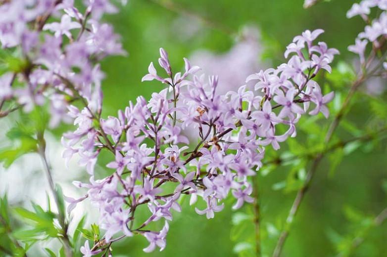 Syringa x laciniata', Cutleaf Lilac, Feathered Persian Lilac, Fragrant Lilac, Purple Flowers, Fragrant Shrub, Fragrant Tree, Purple Lilac