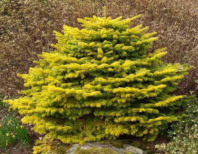 Abies nordmanniana 'Golden Spreader', Caucasian Fir 'Golden Spreader', Caucasian Fir, Evergreen Conifer, Evergreen Shrub