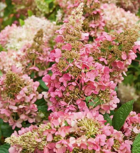 Hydrangea Paniculata 'Pinky-Winky', Hydrangea 'Pinky-Winky', Pinky-Winky Hydrangea, Panicle Hydrangea 'Pinky-Winky', Paniculate Hydrangea 'Pinky-Winky', Pink Flowers, Pink Hydrangea, Hydrangea paniculata 'Dvppinky'
