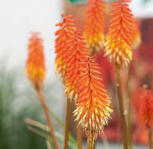 Kniphofia 'Alcazar', Red Hot Poker 'Alcazar', Poker Plant 'Alcazar', Torch Lily 'Alcazar', Tritoma 'Alcazar', orange flowers, summer perennial