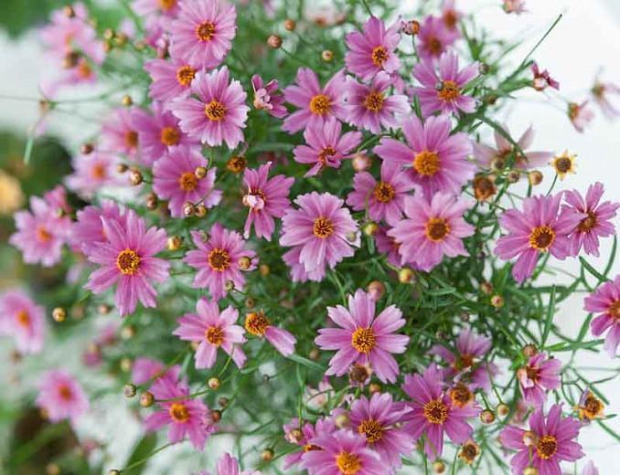 Coreopsis 'Limerock Passion',Tickseed Limerock Passion, Limerock Passion Tickseed, Drought tolerant plants, Purple flowers, Lavender flowers