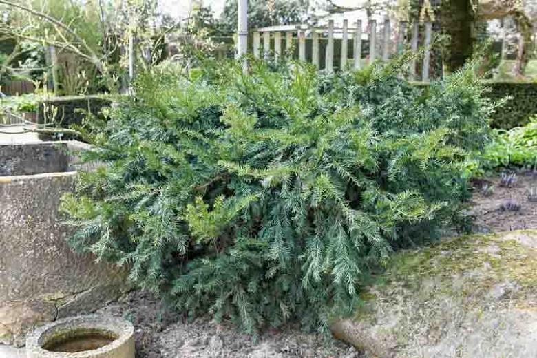 Taxus baccata 'Repandens', English Yew 'Repandens', Common Yew 'Repandens', Evergreen Shrub, Evergreen Tree