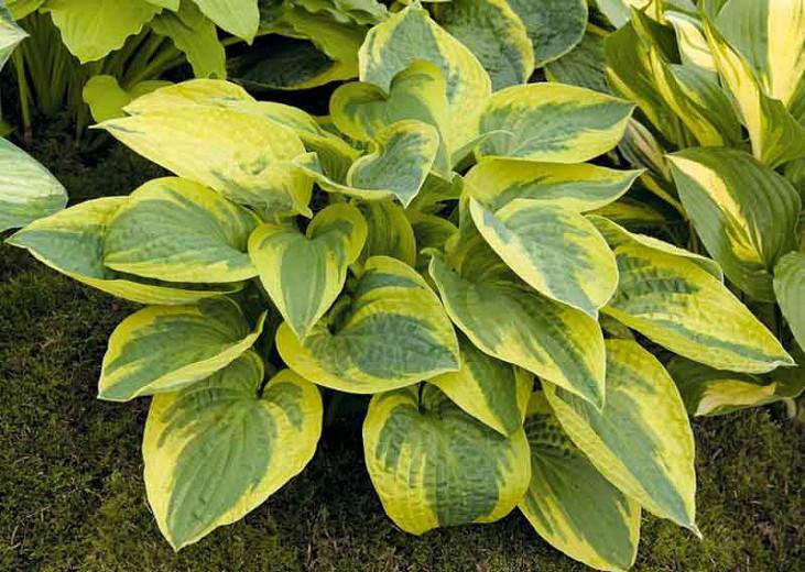 Hosta Mama Mia, Variegated Plantain lily, Plantain Lily 'Mama Mia', 'Mama Mia' Hosta, Shade perennials, Plants for shade