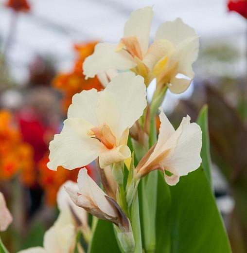 Canna 'Ambassadour', Indian Shot 'Ambassadour', Cana Lily Ambassadour, Canna Lily bulbs, Canna lilies, White Canna Lilies, White flowers