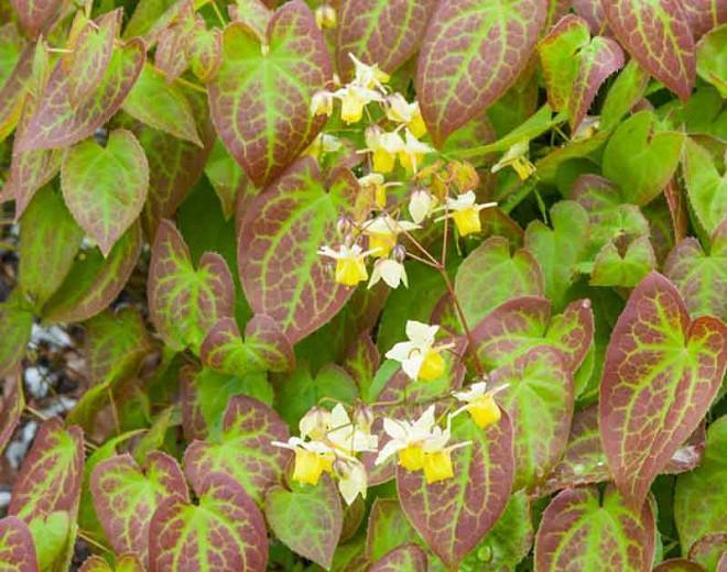 Epimedium × versicolor 'Sulphureum' (Barrenwort)