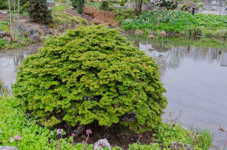 Chamaecyparis obtusa 'Pygmaea', Hinoki Cypress 'Pygmaea', 'Pygmaea' Hinoki Cypress, Chamaecyparis 'Pygmaea', Evergreen Shrub, Evergreen Tree, Small Conifer
