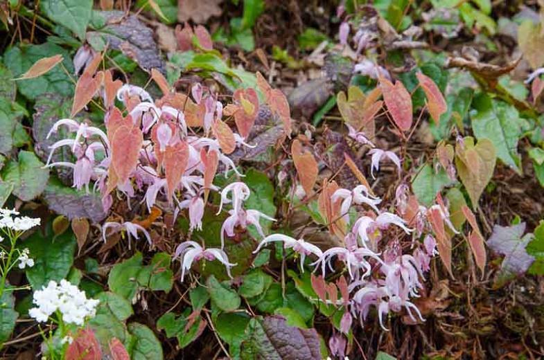 Epimedium leptorrhizum, Barrenwort, Bishop's Hat, Bishop's Mitre, Fairy Wings, Shade Plants, Shade Perennials, White Flowers, Groundcovers, Ground Cover
