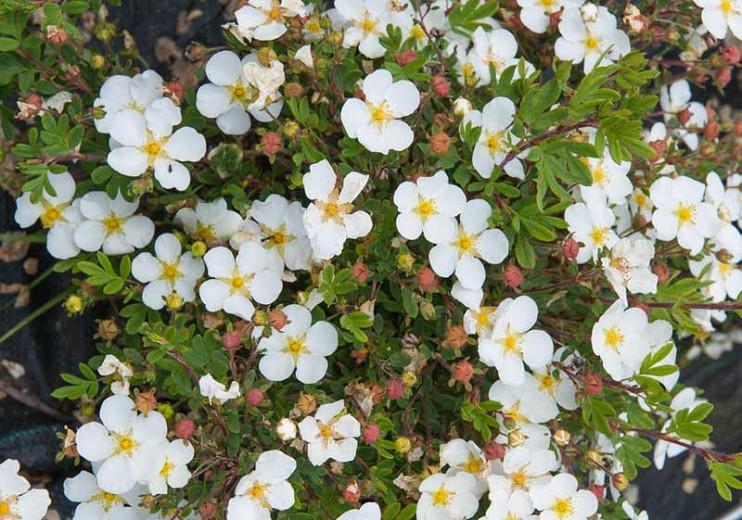 Potentilla fruticosa 'Abbotswood', Shrubby Cinquefoil 'Abbotswood', Cinquefoil 'Abbotswood', White Potentilla, White Flowers
