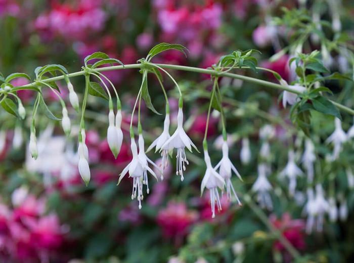 Fuchsia Hawkshead Hardy Fuchsia