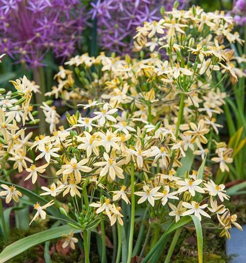 Triteleia ixioides Starlight, Starlight Triteleia, Ithuriel's Spear Starlight, Triplet Lily Starlight, Grassnut Starlight, Spring Bulbs, Spring Flowers, Yellow Flowers
