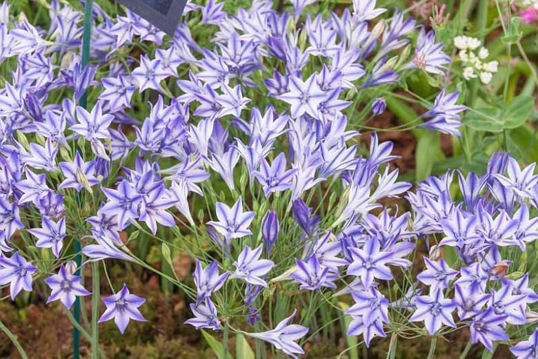 Triteleia Rudy, Rudy Triteleia, Ithuriel's Spear Rudy, Triplet Lily Rudy, Grassnut Rudy, Spring Bulbs, Spring Flowers, Blue Flowers
